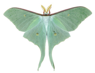 Night butterfly (Actias artemis) 22