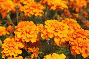 oeillet d'inde orange