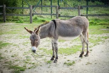 Trauriger Esel steht vor einem Zaun