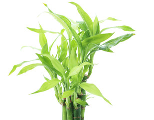 Ribbon dracaena, Lucky bamboo, Belgian evergreen, Ribbon plant p