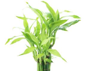 Ribbon dracaena, Lucky bamboo, Belgian evergreen, Ribbon plant p