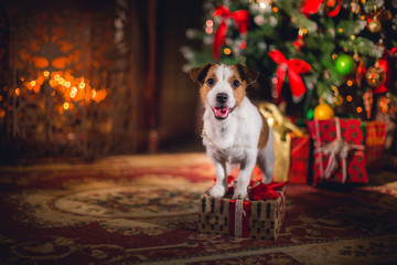 Jack Russell dog at the Christmas