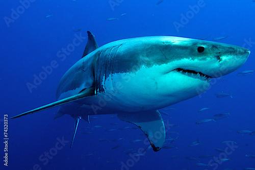 Weißer Hai im tiefblauen Wasser - 74320373