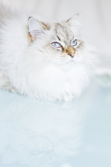white siberian cat in winter time