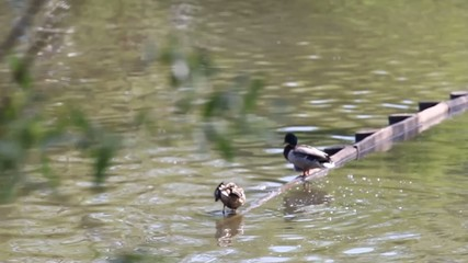 Duck  _05