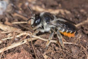 Megachile bee