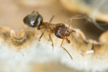 Brown tree ant, Lasius brunneus extreme close-up