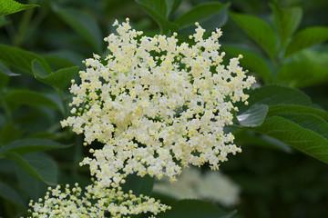elderberry blossom are used for herbal tea