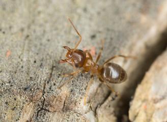 Brown tree ant, Lasius brunneus extreme close-up