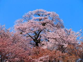 吉野山の満開の桜