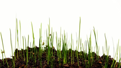 Growing green grass  time lapse