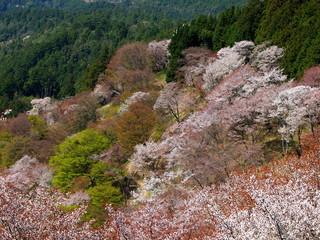 吉野山 桜の景色
