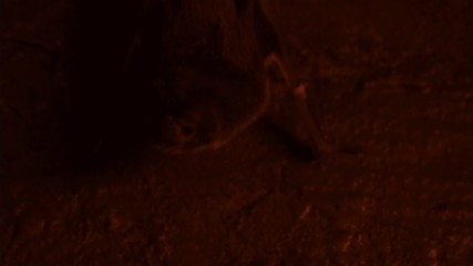 Vampire bat (Desmodus rotundus) in the dark