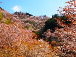 桜が満開の吉野山