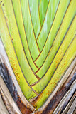 The petioles of Ravenala madagascariensis tree poster