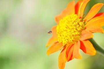 Zinnia flower and bee