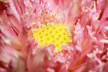 Stamen of colorful pink lotus