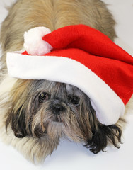 shitzu in a red christmas hat