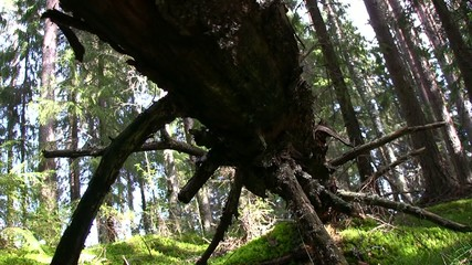 Camera dolly movement under a old log in the forest
