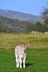 White bull calf