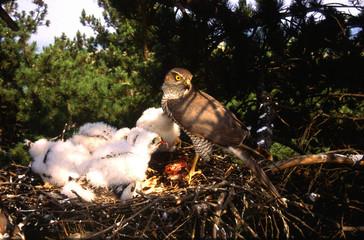 sparviere al nido con con piccoli