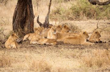 gruppo leoni tanzania