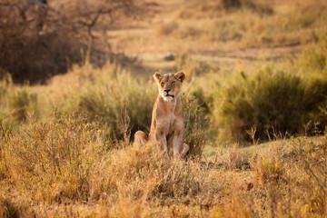 leone alba ngorongoro