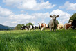 canvas print picture - Rinder auf der Weide