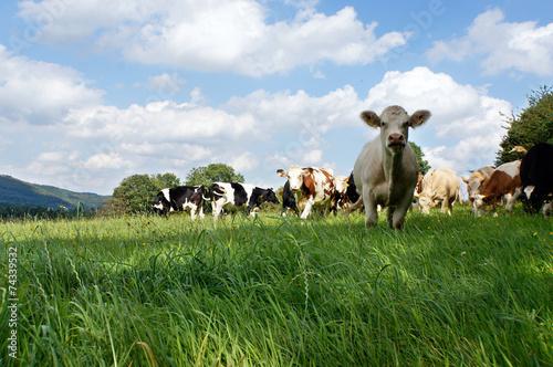 canvas print picture Rinder auf der Weide