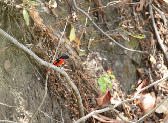 Beautiful male Scarlet Minivet