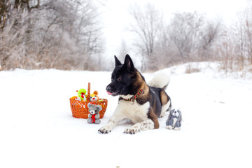 Akita dog breed lies in the snow with toys
