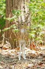 Beautiful Cheetal deer in forest of Jim Corbett