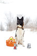 Akita dog breed sitting in the snow with toys