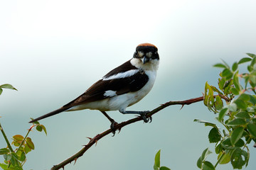 The woodchat shrike (Lanius senator) perched on branch