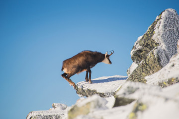 Wildlife of chamois in mountains. High Tatras