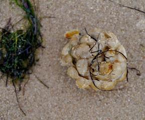 Algen an Seegerippe