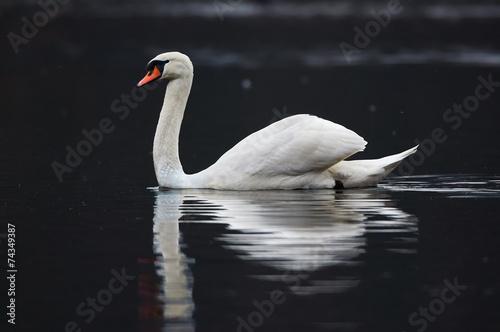 Foto op Plexiglas Zwaan Swan