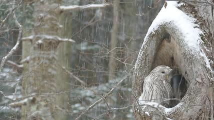 風雪のフクロウ_P2