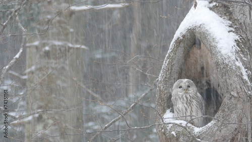 Foto op Aluminium Uil 風雪のフクロウ_P1