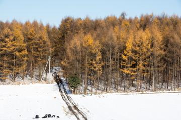 初冬のカラマツ林