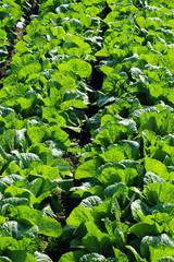 Napa cabbage-2