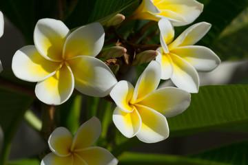 white frangipani plumeria flower on tree