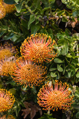 pincushion protea flower heads