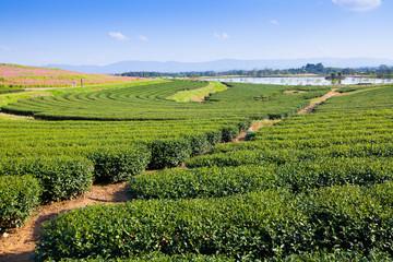 green tea plantation and blue sky background.