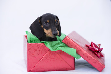 Dachsund Puppy in Gift Box