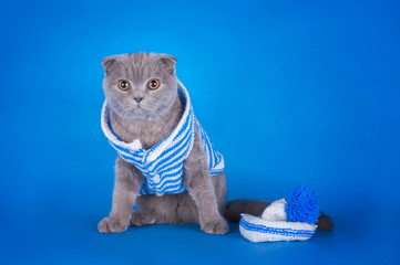 kitten dressed as a sailor on a blue background isolated
