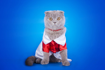 kitten in a red and white dress on a blue background isolated