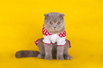 kitten in a red and white dress on a yellow background isolated