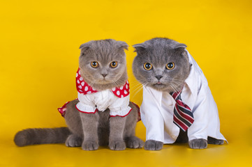 a pair of cats with beautiful dress on a yellow background