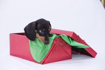Dachsund Puppy in Gift Box